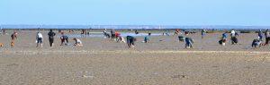 Pêche à pied au passage du Gois à Noirmoutier, Vendée